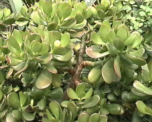 фото растения хирург