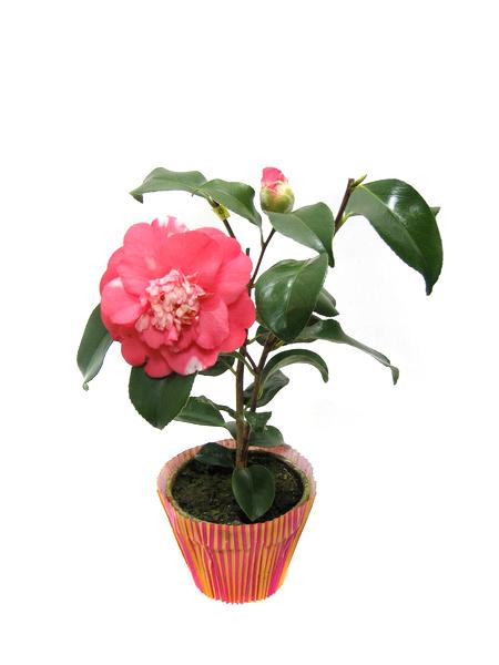 Комнатные растения и уход за ними.фото.камелия